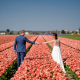 trash the dress in Olanda - sposi si tengono la mano tra i tulipani